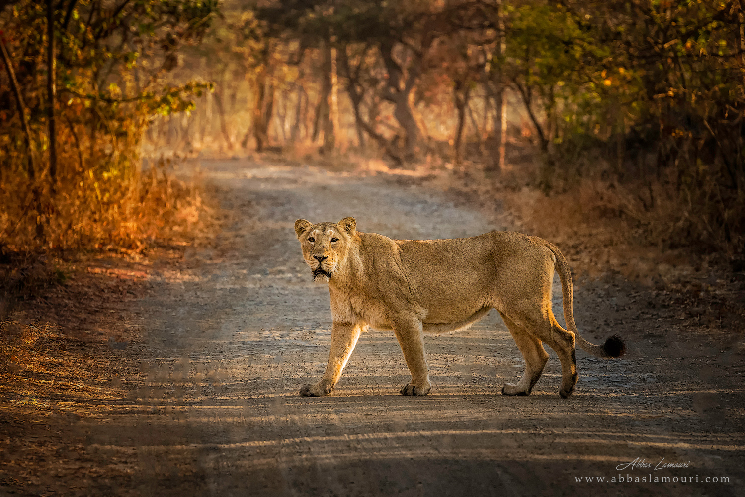 At present, Gir forests of Gujarat, India is the only natural place where lions can be found outside africa.